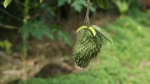 Durian Belanda 1
